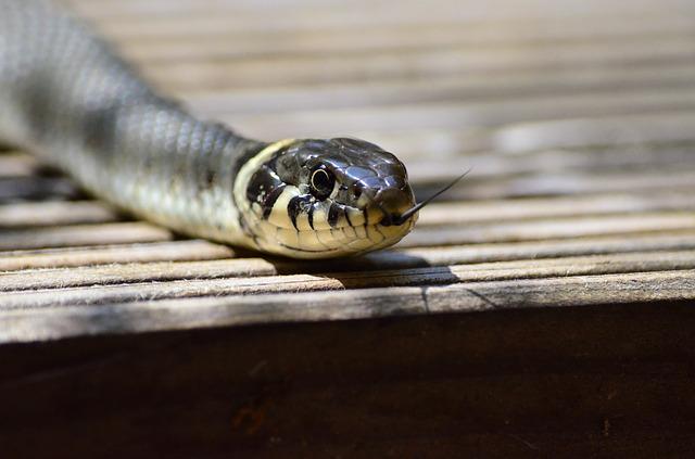 舌を出している蛇